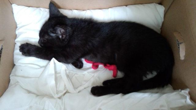 生後3ヵ月を越えた頃の子猫