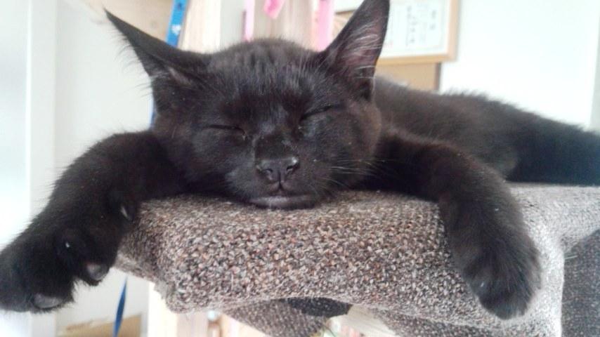 猫タワー天辺で寝る子猫