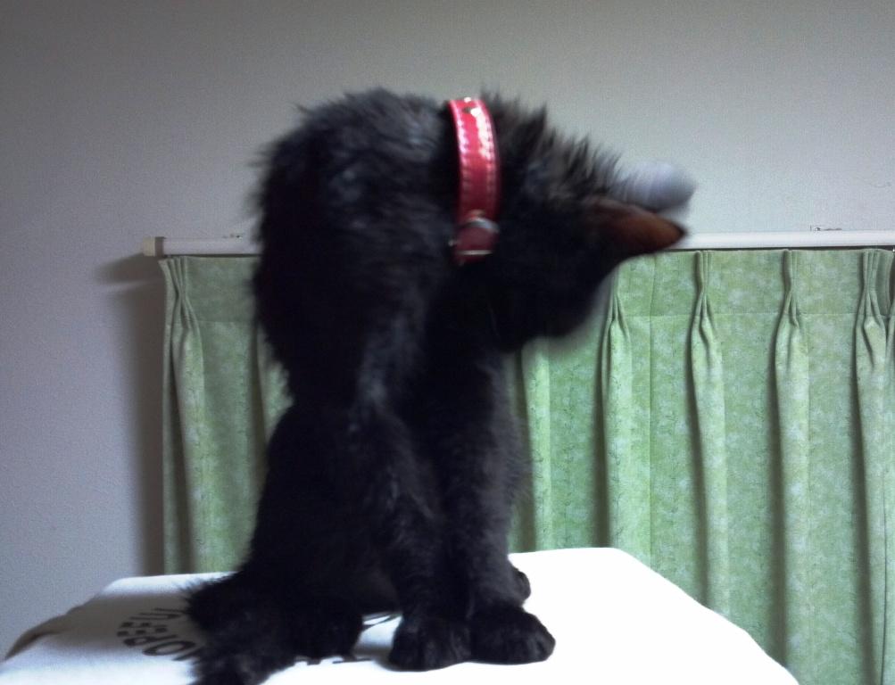 入浴後に毛づくろいする黒猫1