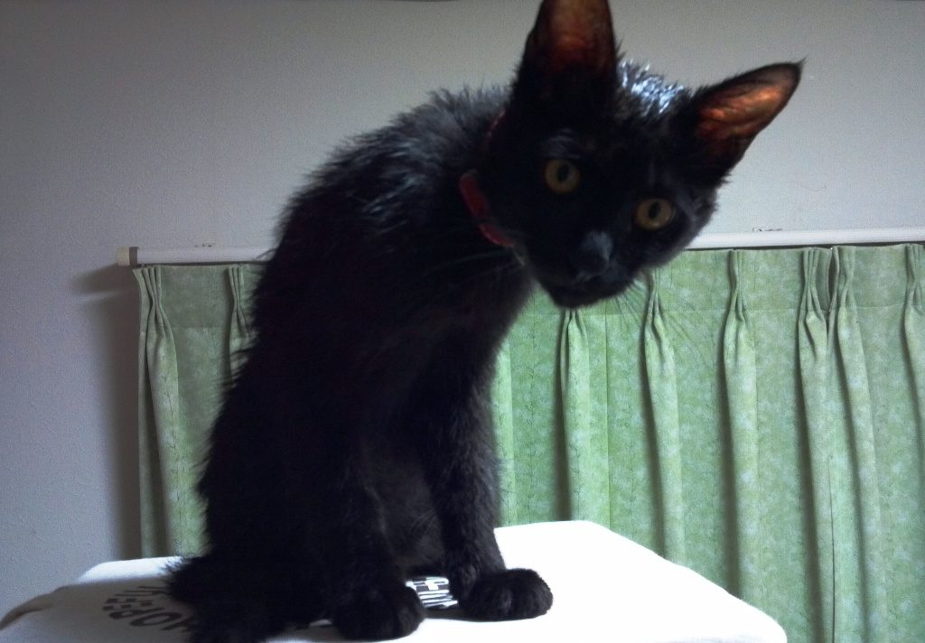 入浴後に毛づくろいする黒猫3